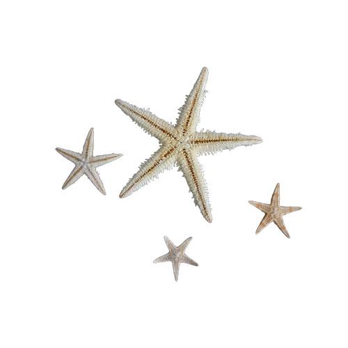 این پک شامل ۴ عدد ستاره دریایی طبیعی به سایز های بزرگ ۷سانت  متوسط ۲  کوچک ۱.۵ می باشد.